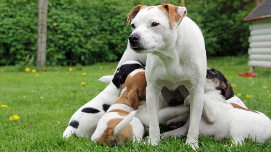 Blandingshunde er sunde og raske