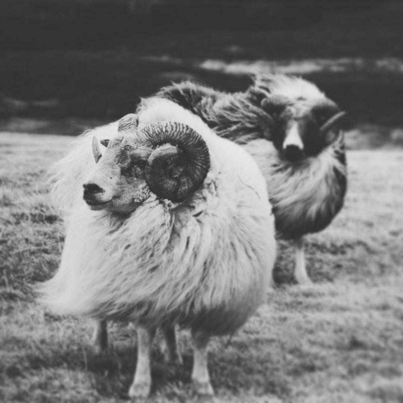 Island - Schafe
