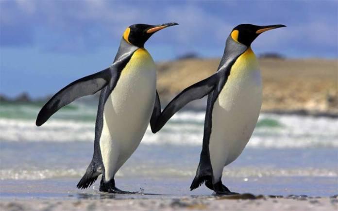 eşcinsel penguen çifti, heteroseksüel penguen çifti, babalık hissi, yumurtasını çaldı, çin, penguen,