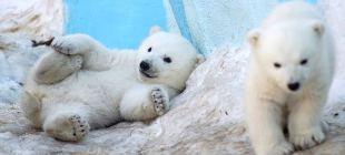 Yavru kutup ayıları 'görücü'ye çıktı