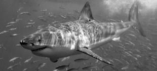 Hawaii'de bir turist köpekbalığı saldırısı sonucunda öldü