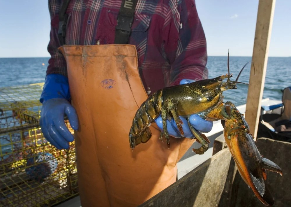 A fisherman holds up a lobster in Port Clyde. The author says dredging Searsport Harbor would be an economic catastrophe.