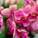 orchidea-copertina