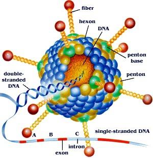 Creative Biolabs Announces One-stop Services about Adenovirus Vector 5