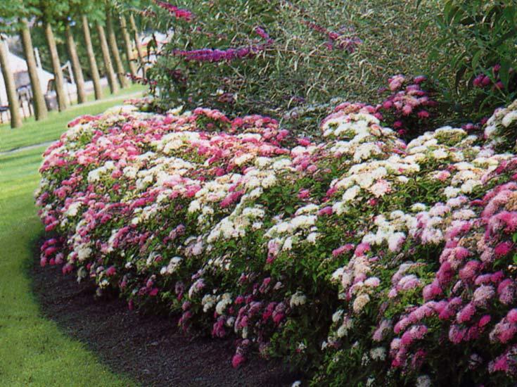 avoir une haie fleurie tout l 39 t dans son jardin. Black Bedroom Furniture Sets. Home Design Ideas