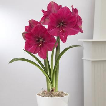 Les roses d 39 amaryllis for Amaryllis rose