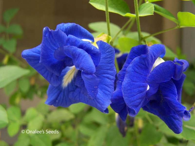 Butterfly Pea Vine Seeds Rich DOUBLE Blue Clitoria