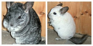 chinchillas, chinchilla exercise, chinchilla run,