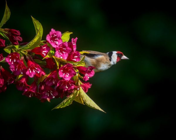 """""""Goldfinch"""" by Andrew Morffrew. CC BY-ND"""
