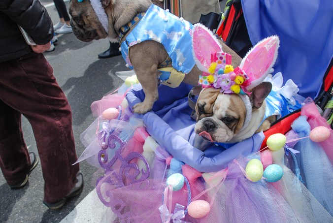 ny easter hat parade bull dog