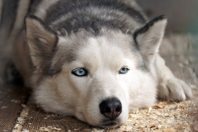 21 Reasons why you should own a Husky