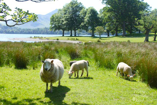 sheep_by_water
