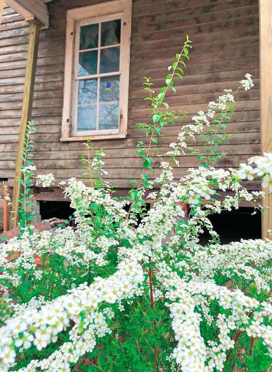 Bridal Veil Spirea original to house