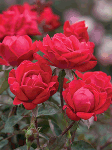 Red-Double-Knockout-Rose-Landscape-3-220