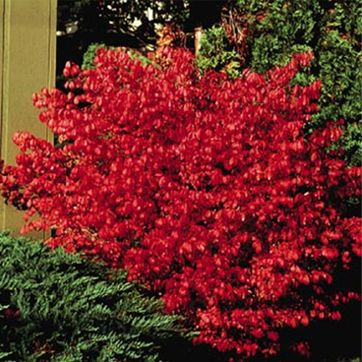 burning-bush-dwarf