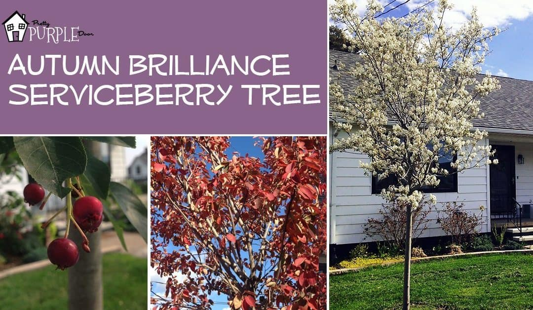 A tree for all seasons the autumn brilliance serviceberry pretty a tree for all seasons the autumn brilliance serviceberry altavistaventures Gallery