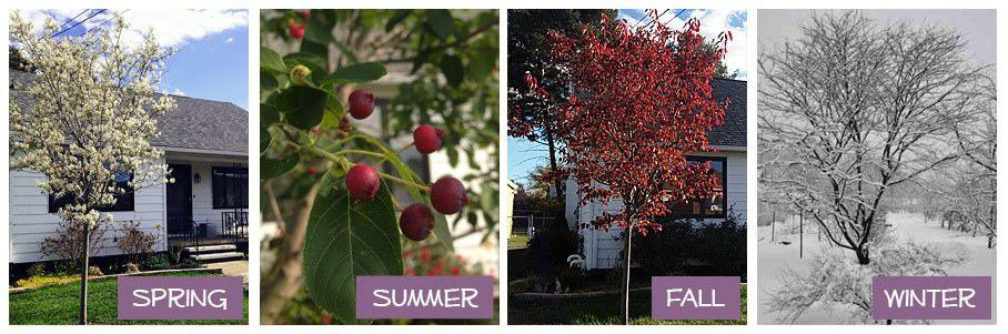 4 seasons of The Autumn Brilliance Serviceberry Tree