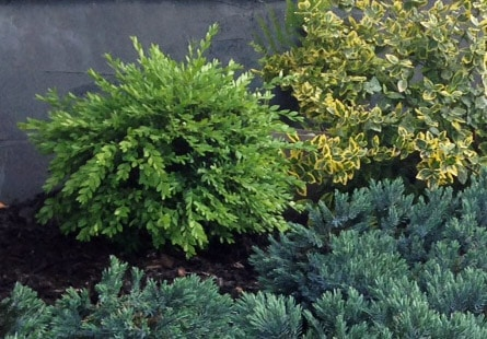 Perennial Garden Plan: Evergreen Shrubs