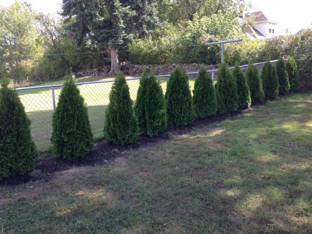 plant privacy trees - emerald green arborvitae
