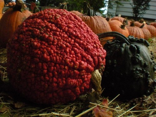 Warty pumpkin example