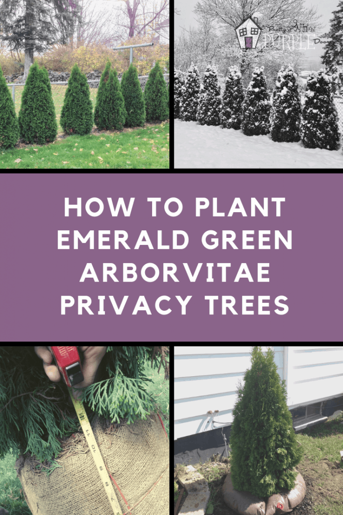 plant emerald green arborvitae trees for privacy