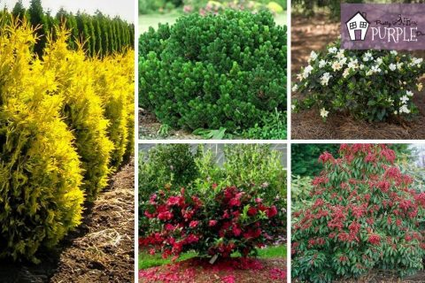 5-6 foot evergreen shrubs for your landscape