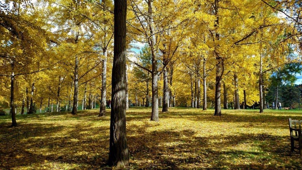 Ginkgo autumn gold forest