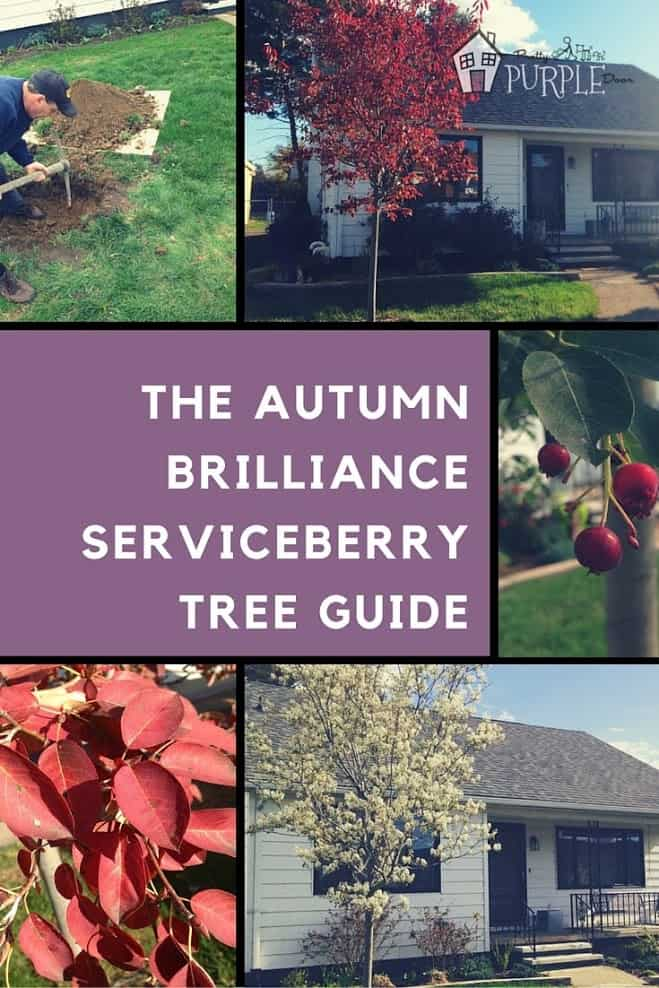 Autumn Brilliance Serviceberry Tree Guide