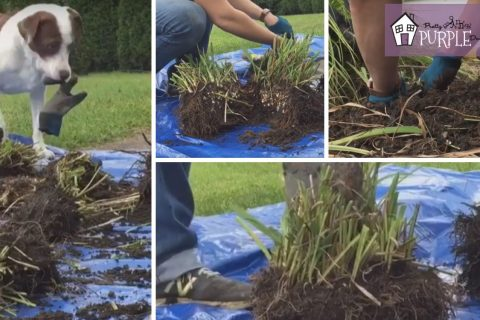 How to divide Daylilies and other perennials with one tool - step by step