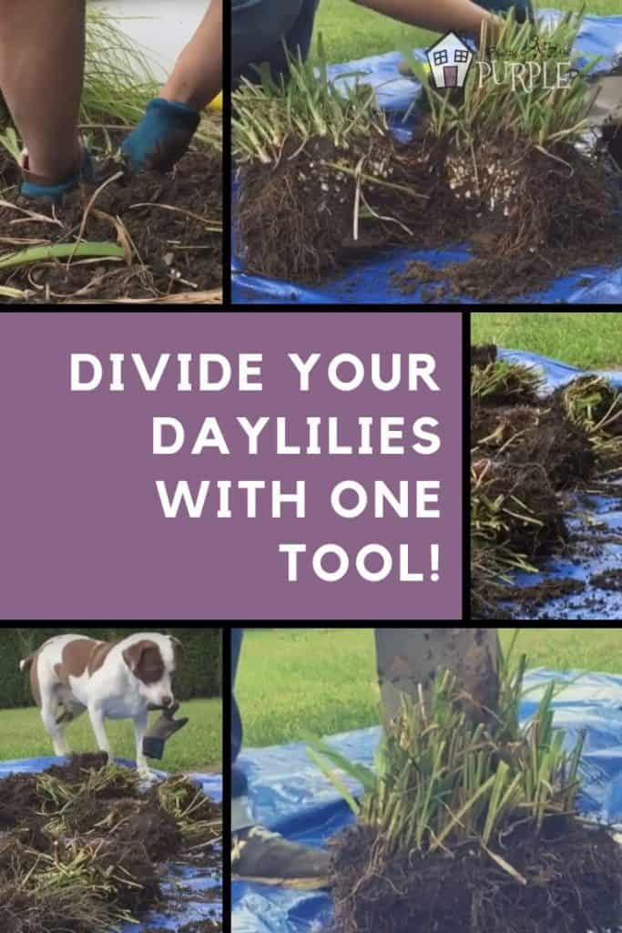 How to divide Daylilies collage pinterest image