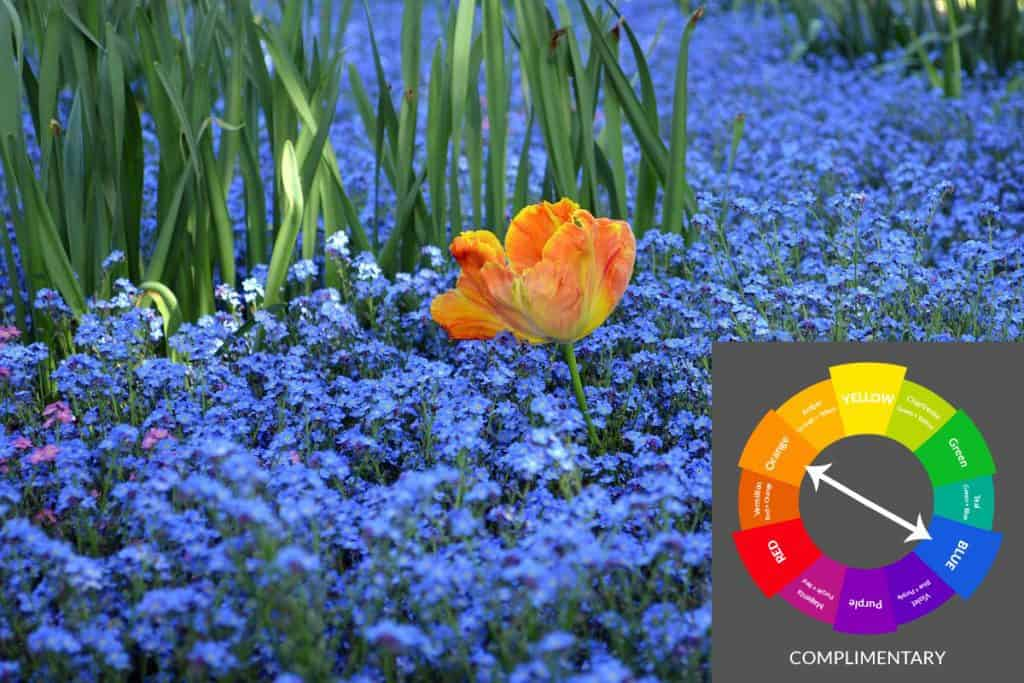 Tulips and forget-me-nots in a blue-orange complimentary garden color scheme