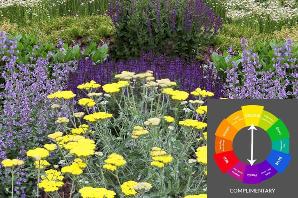 Yellow-Purple Complimentary Garden Color Scheme
