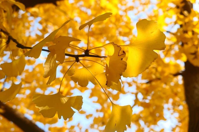 Ginkgo Autumn Gold Blazing yellow foliage