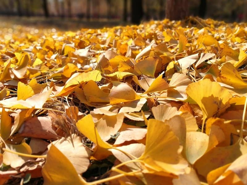 Blanket of Ginkgo Autumn Gold Leaves
