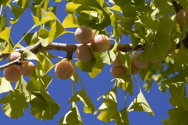 Ginkgo Fruit Close