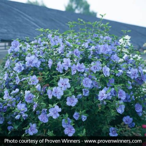 Rose of Sharon 'Blue Chiffon'