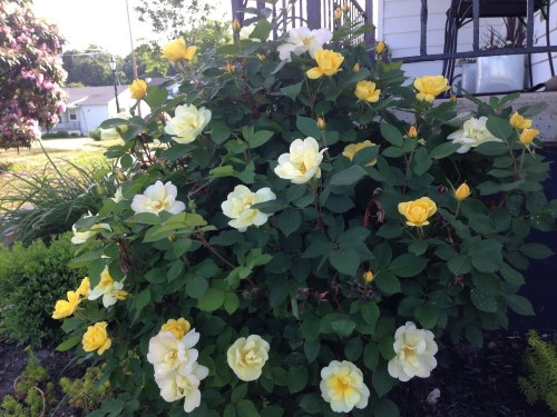 Double-Knockout Rose Bush