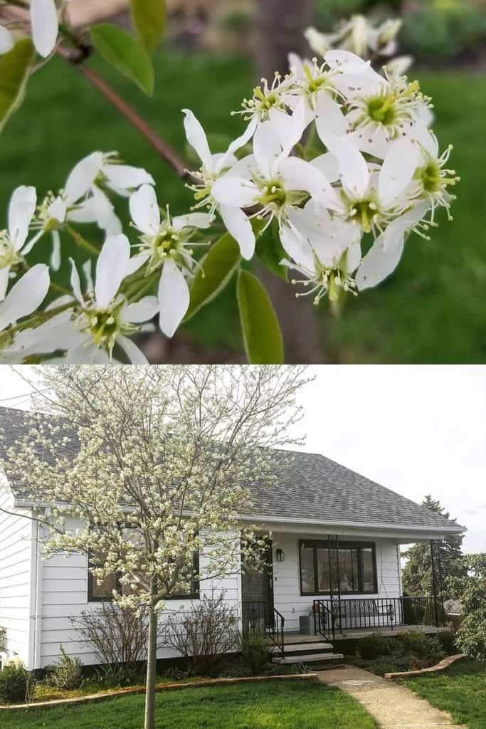 Autumn Brilliance Serviceberry Tree in Spring
