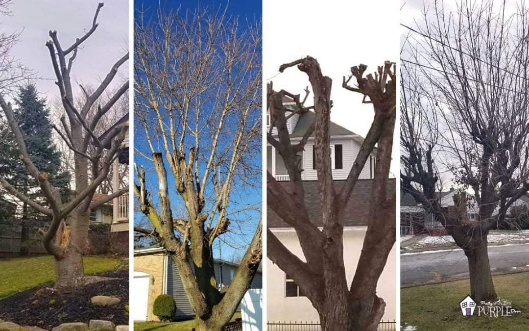 Tree topping is harmful – read this before you hire a tree trimmer