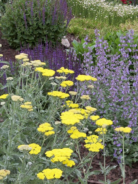 Yarrow, catmint and salvia complimentary garden color schemes