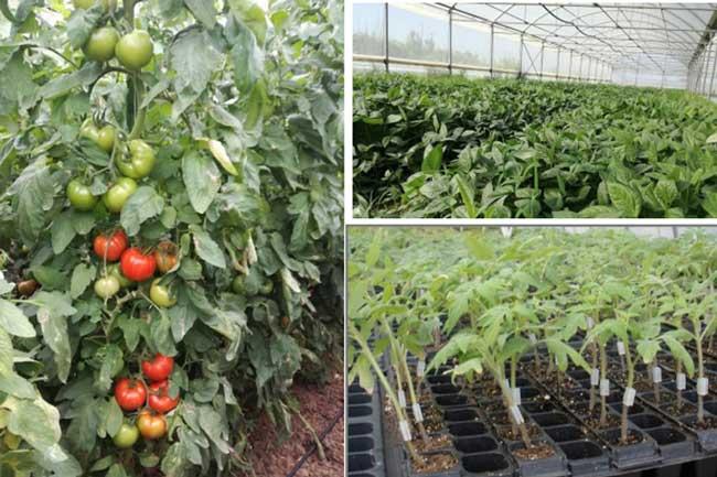"""Ημερίδα στην Πρέβεζα για τις """"Νέες προσεγγίσεις για βιώσιμη καλλιέργεια τομάτας στο θερμοκήπιο""""_5e0676ead6f8b.jpeg"""