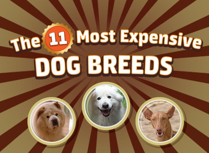 how much does a gaming chair cost multi position beach 11 most expensive dog breeds infographic - pricecapsule