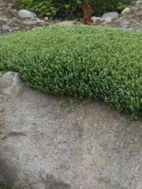 Herniaria glabra Green Carpet Green Carpet Rupturewort ...