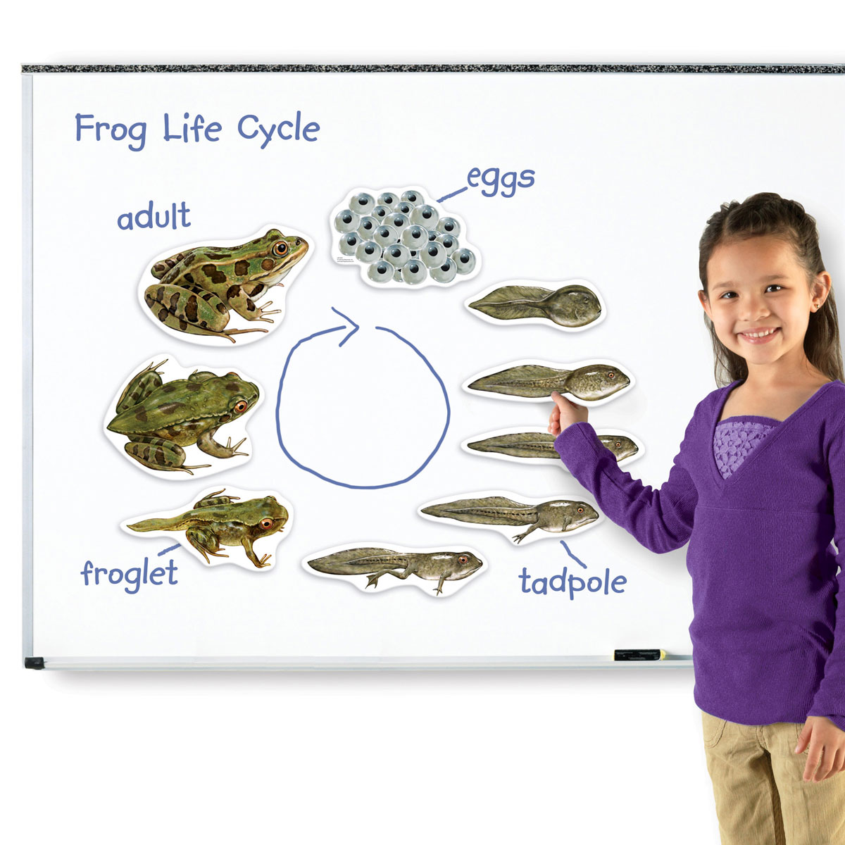 Giant Magnetic Frog Life Cycle Demonstration Set