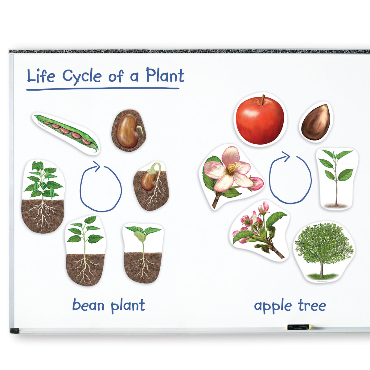 Giant Magnetic Plant Life Cycle Demonstration Set