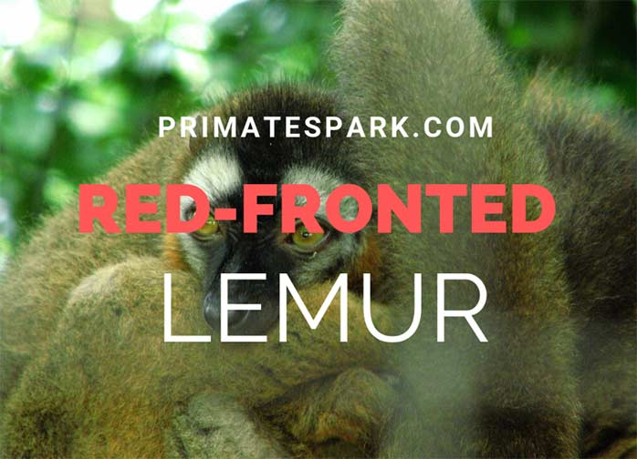 Red-fronted-Lemur
