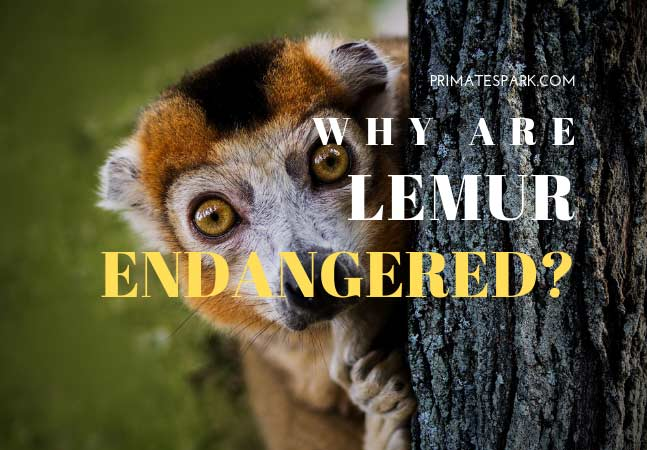 why are lemur endangered