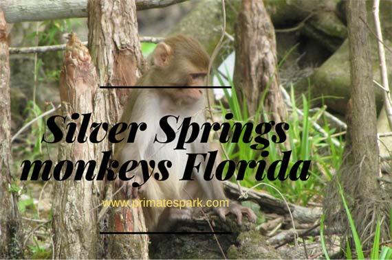 silver springs monkeys florida