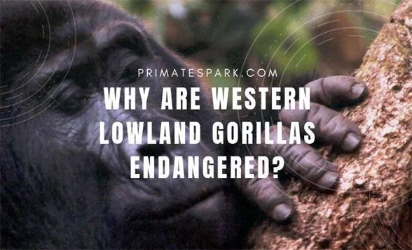 why are western lowland gorillas endangered