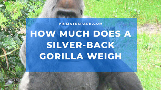 how much does a silverback gorilla weigh